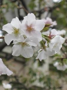 門前の桜も咲いています